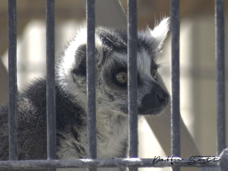 One of the female ring-tailed lemurs