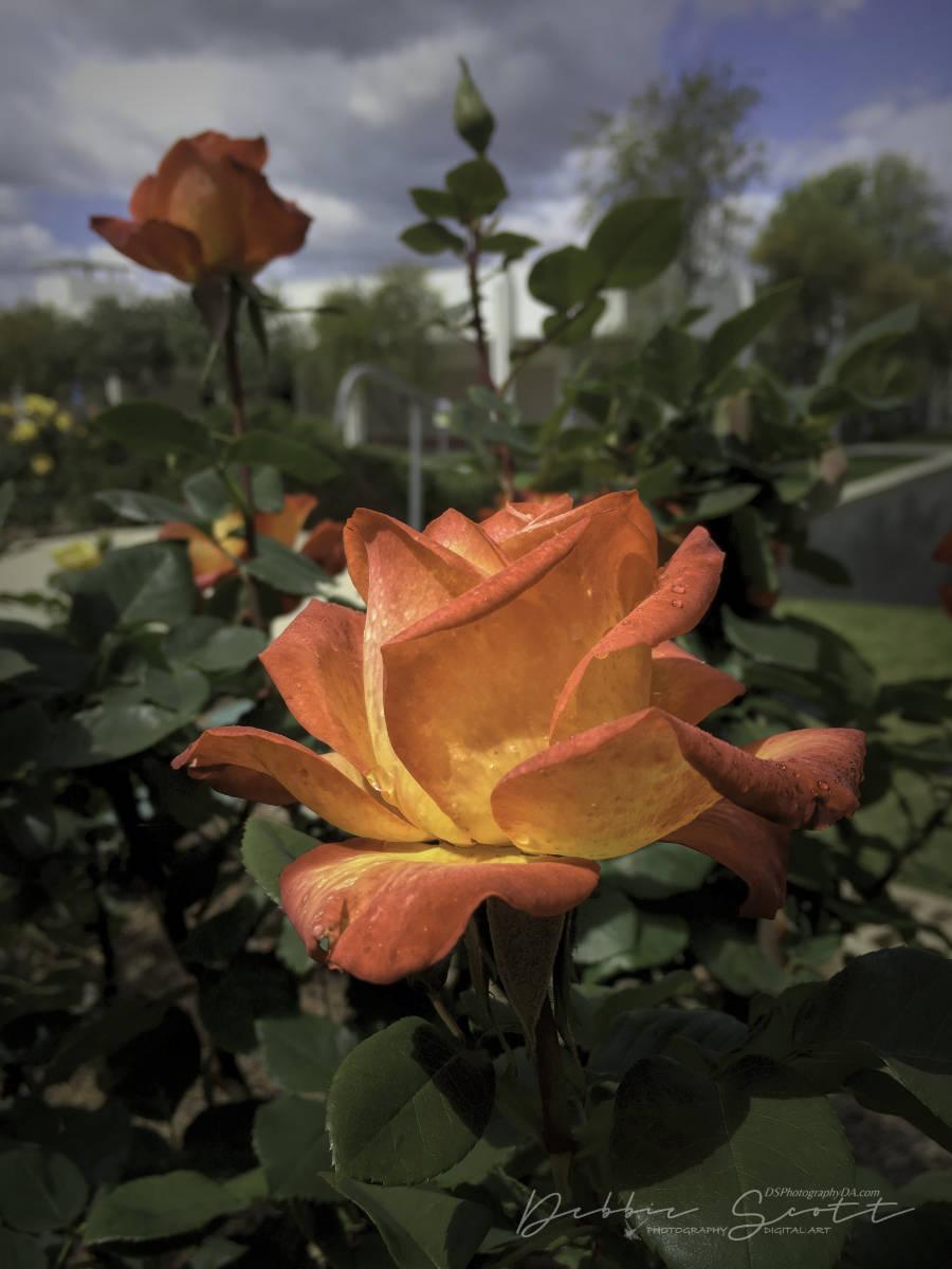 WPC Awakening - Rose 1