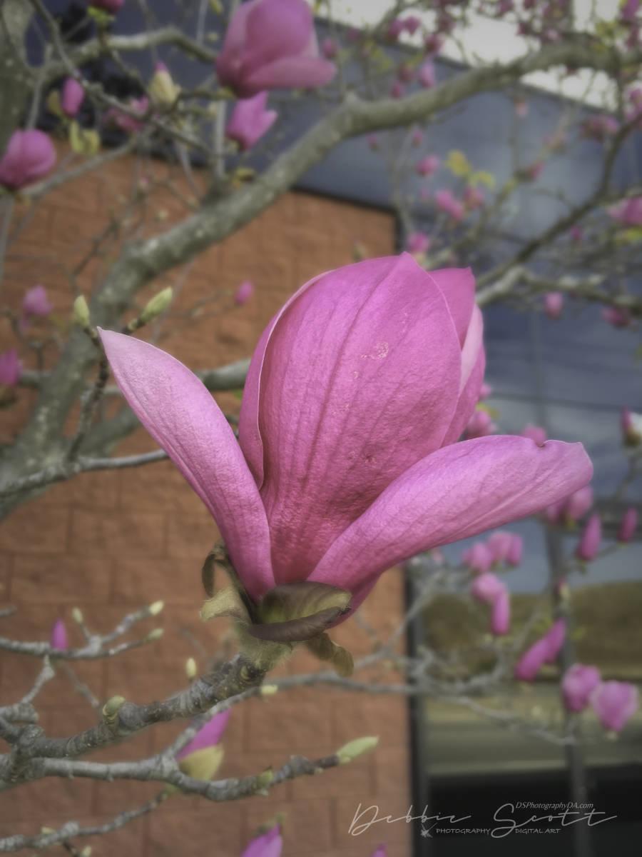 WPC Awakening - Pink Magnolia