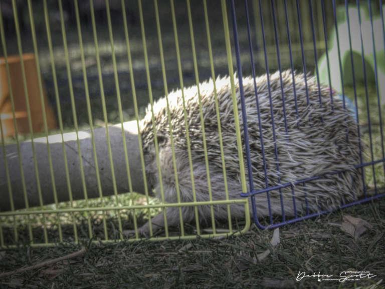 WPC - Tour Guide Burrowing Hedgehog