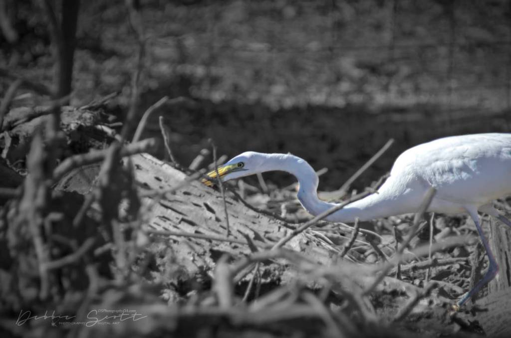 Egret Coming Out...