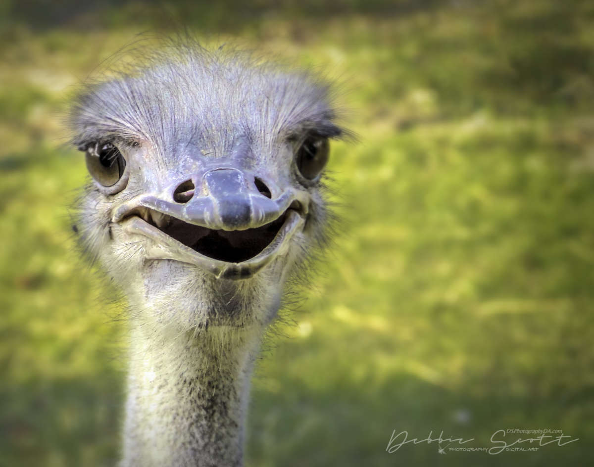 WPC Smile - Smiling Ostrich