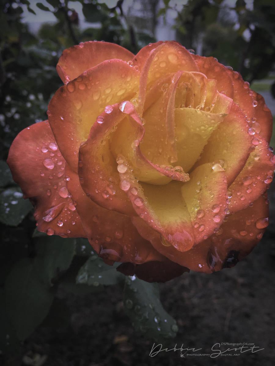 WPC Awakening - Rose 2
