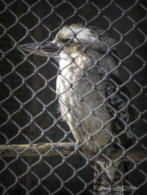 WPC - Tour Guide Laughing Kookaburra