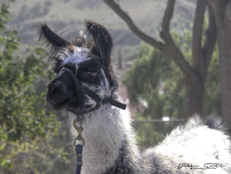 WPC - Tour Guide Llama 1