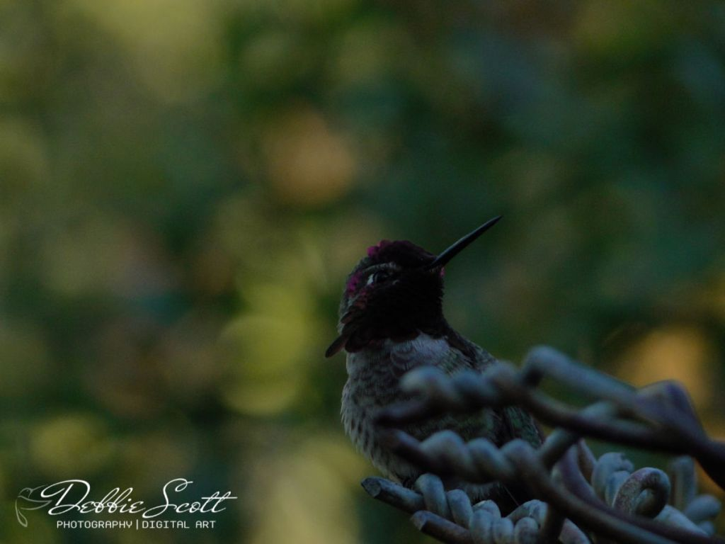 Hummingbird on Fence - Before