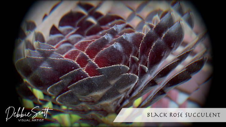 Black Rose Succulent